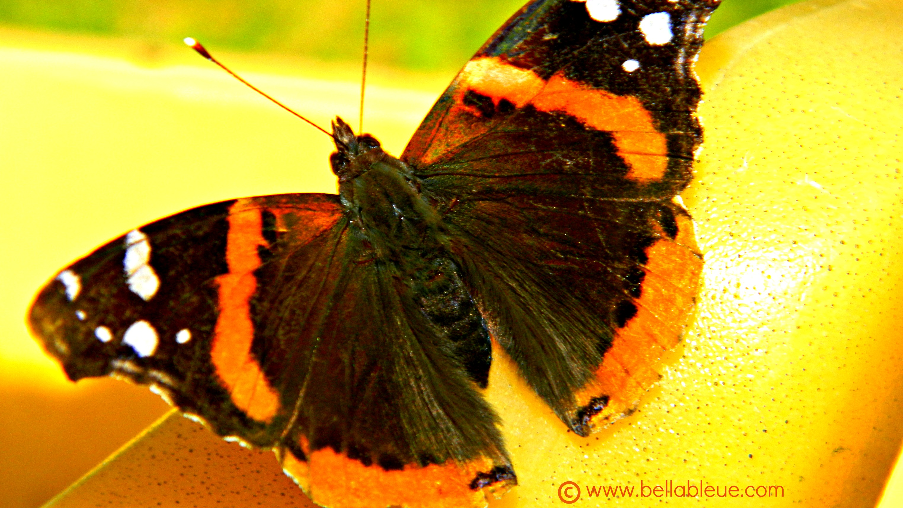 Red Admiral Butterfly | Bella Bleue Healing™
